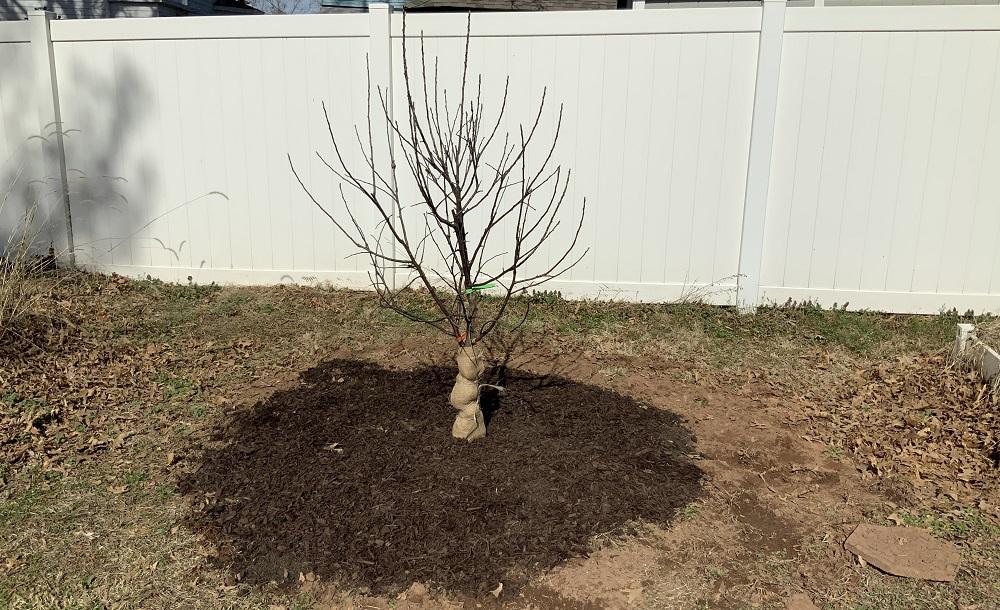 Wendy's 4-in-1 apple tree