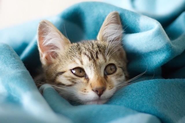 cute kitten in a blue blanket