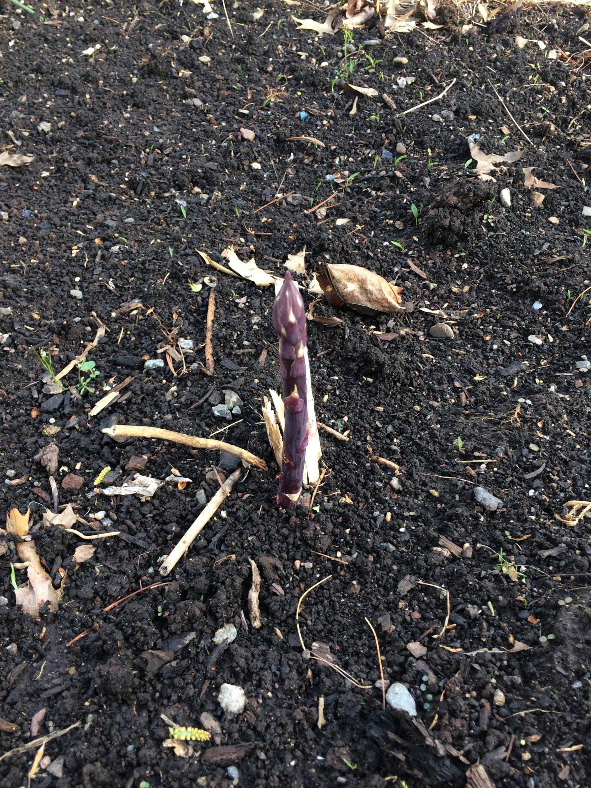 asparagus in the soil