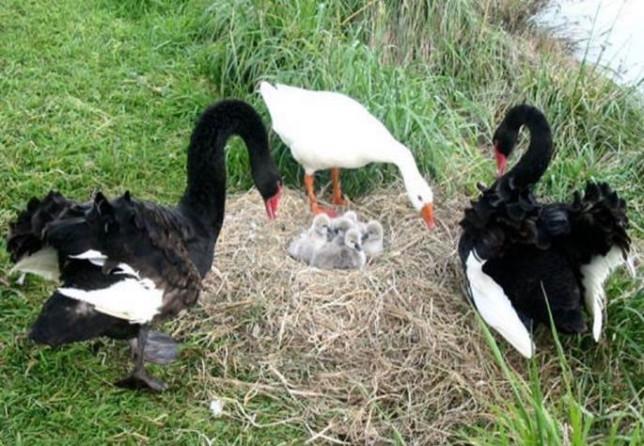 Thomas the goose, partners & chicks